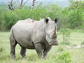 suedafrika-nashorn